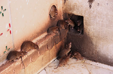 Speedy's image of rats entering through structure voids