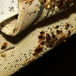 Bed Bug Infestation Extermination
