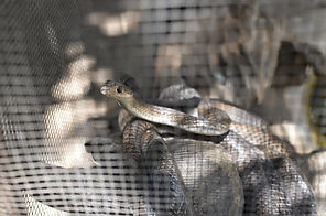 Speedy's Snake Image