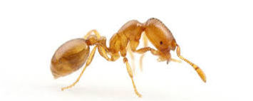 Palm Springs Thief Ant Control