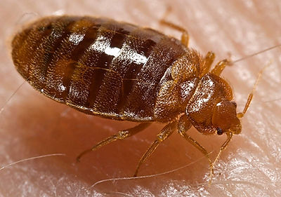 Bed Bug Exterminating Service