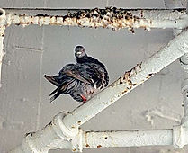 A pigeon roosting on a ceiling pipe