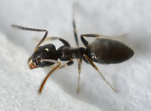 Odorous House Ant.jpeg