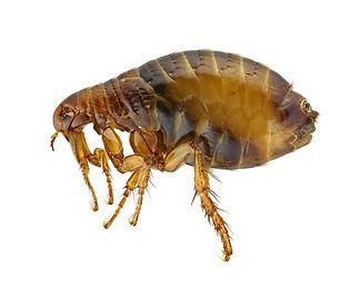 Speedy's Flea Image