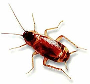 Brown Banded Cockroach Exterminating Service