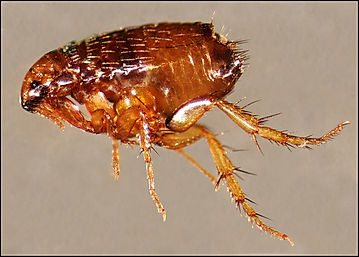 Flea Exterminating Service