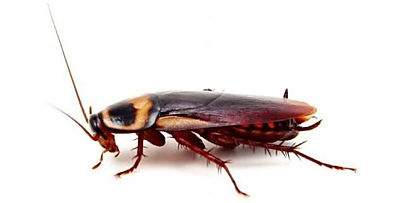 Cockroach Exterminator Service