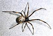 Brown Widow Spider Exterminator