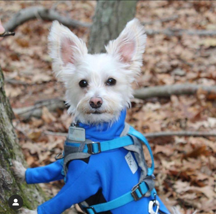 Dusty wearing a custom made dog jacket