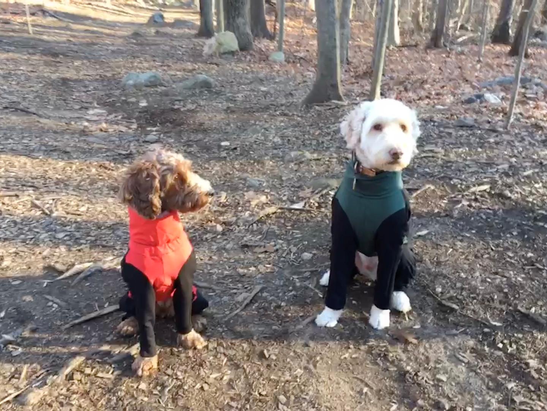 Bodhi and Skylar in their custom made dog jackets