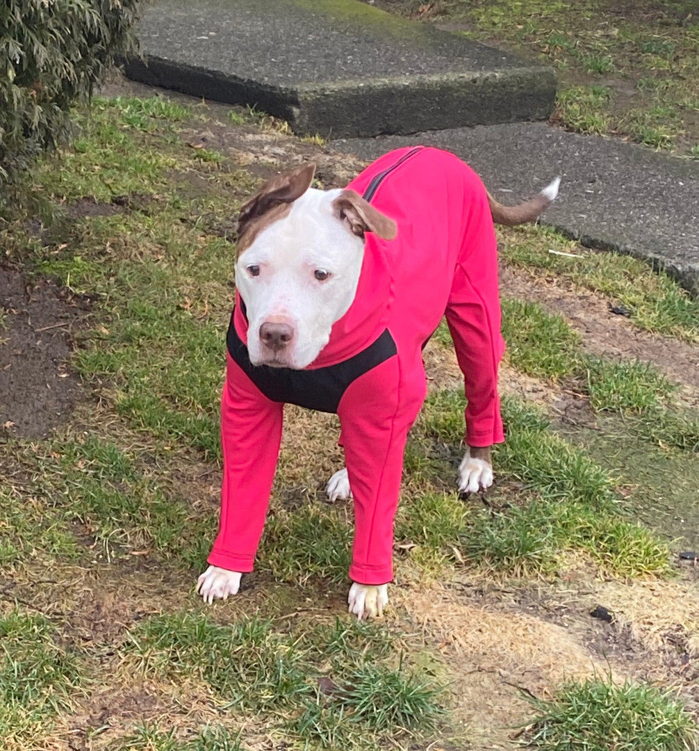 Asiah wearing a custom made dog jacket with a warm fleece lining.  This jacket will keep her warm and dry all winter long.