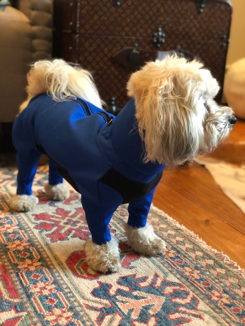 Here is Truffles in his royal blue long sleeved dog jacket