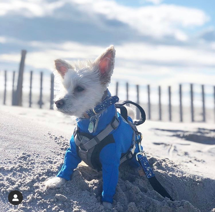 Here is Dusty on the Beach in a long sleeve dog coat