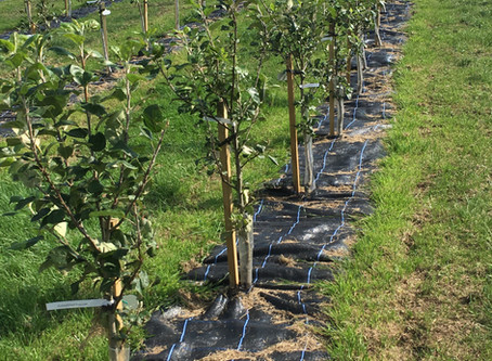 Planting easy to manage orchards