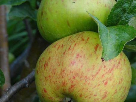 Traditional Apple Varieties