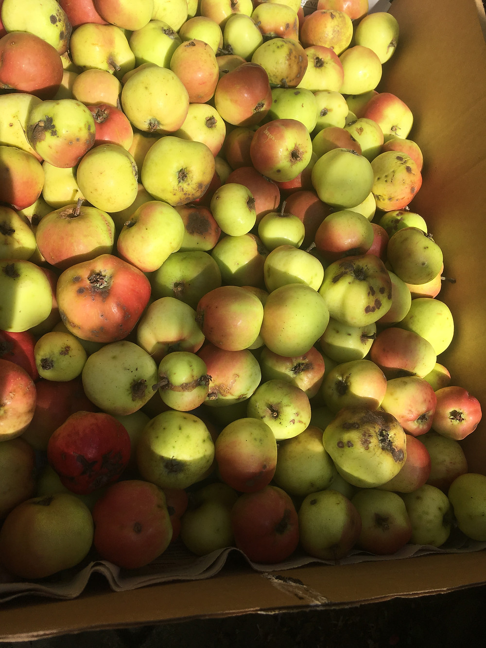 delicious eating apples from near Stirling