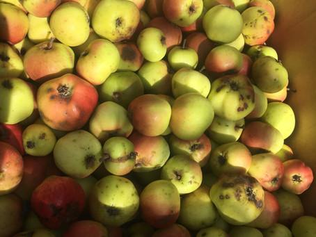Irish Peach apple