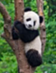 Cute panda in tree.jpg