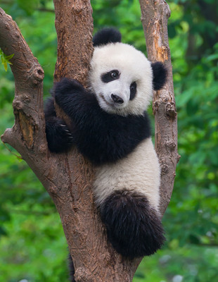 Cute panda in tree.jpg