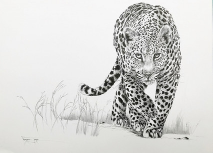 STALKING LEOPARD - INDIAN INK - 60 x 70 cm