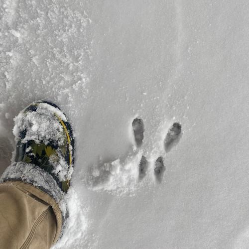 Animal Tracks: Winter 2021