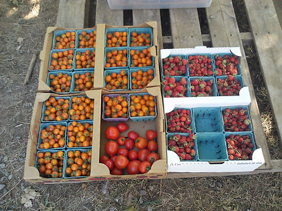 tomatoes2012_edited.jpg
