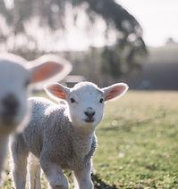 tim-marshall lambs.jpg