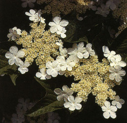 amcranberryflower