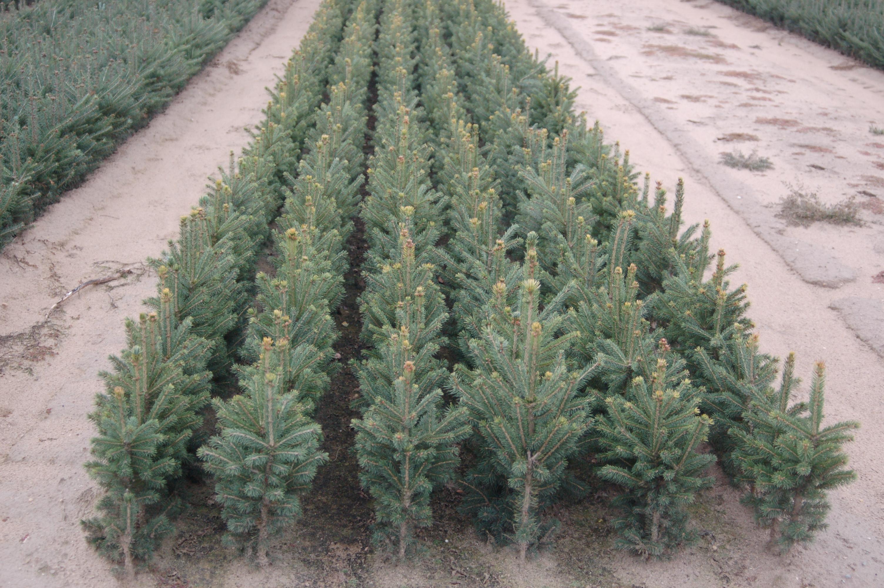 Blackhill Spruce