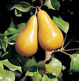 Pear Bosc- Sqr.jpg