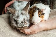 Rabbit-Guinea-Pig.jpg