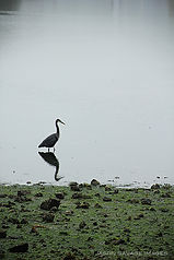 Jason Savage Images Puzzle 84 - Heron in