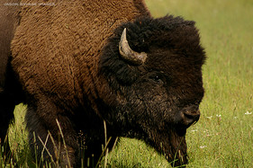 Group 1, Puzzle 14 - Bison