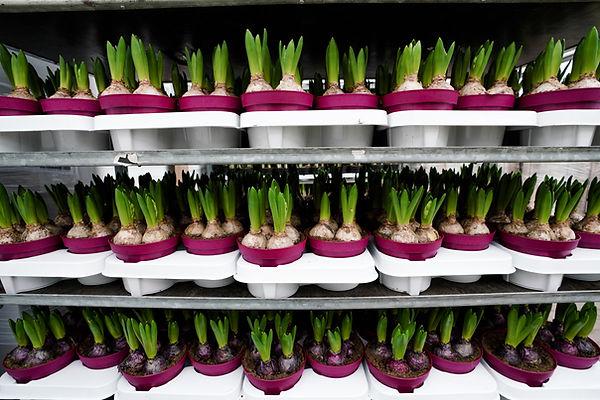 Zwiebelpflanzen (3 von 6).jpg