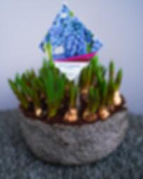 Zwiebelpflanzen (1 von 6).jpg