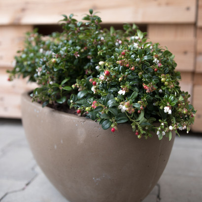 HOW TO USE VACCINIUM