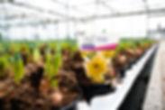 Zwiebelpflanzen (5 von 6).jpg