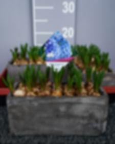 Zwiebelpflanzen (2 von 6).jpg