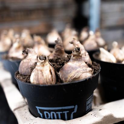 Zwiebeln Legen in Ökologisch abbaubaren Töpfen
