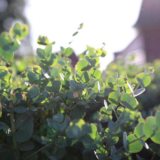 Eucalyptus gunnii Azura im Wind
