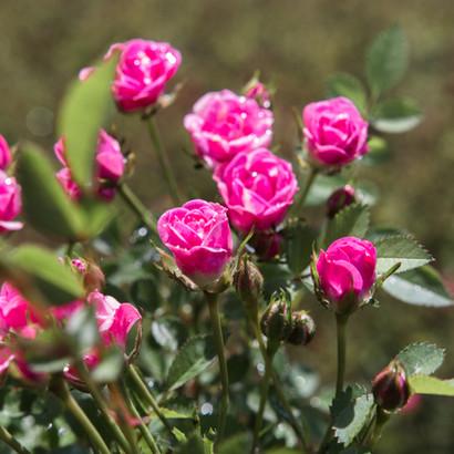 Kientzlers Lilly Rose Wonder 5