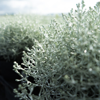 Calocephallus brownii - Silberdraht