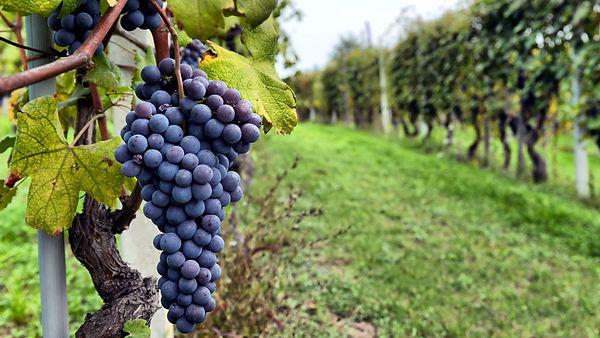 d producción vitivinícola- APLICACIONES.