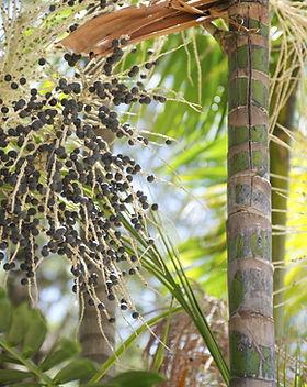 Fresh acai açaí berries palm fruit tree
