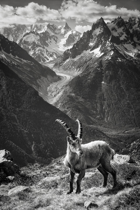 An Ibex in the Mountains near Mt Blanc in France on a walk though the Alps