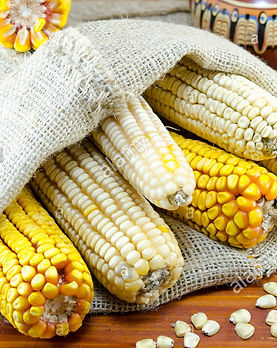 dried-yellow-and-white-corn-cobs-in-a-ba