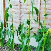 Hackney corn
