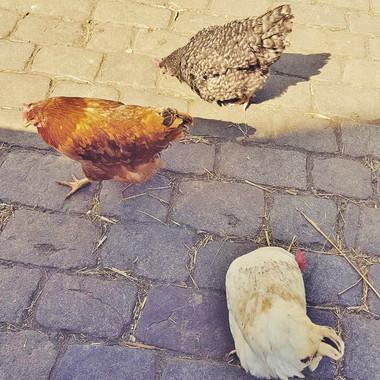 City Farm hens