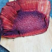 Ox tongue mushroom