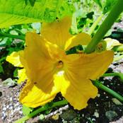Corgette flower